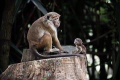 Sri Lanka: apan och dess behandla som ett barn i kungliga botaniska trädgårdar, Kandis fotografering för bildbyråer