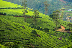 Sri Lanka. Beautiful highland tea plantations in Sri Lanka Royalty Free Stock Photos