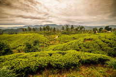 Sri Lanka: berömda Ceylon höglands- tefält arkivbild