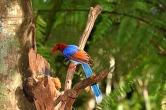 Sri Lanka Blue Magpie in Sinharaja Jungle stock image