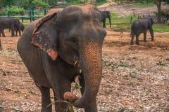 Sri lanka: captive elephants in Pinnawala. Sri lanka: group of elephants in Pinnawala, the largest herd of captive elephants in the world Royalty Free Stock Images