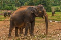 Sri lanka: captive elephants in Pinnawala. Sri lanka: group of elephants in Pinnawala, the largest herd of captive elephants in the world Stock Images