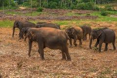 Sri lanka: captive elephants in Pinnawala. Sri lanka: group of elephants in Pinnawala, the largest herd of captive elephants in the world Royalty Free Stock Photo