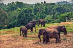 Sri lanka: captive elephants in Pinnawala. Sri lanka: group of elephants in Pinnawala, the largest herd of captive elephants in the world royalty free stock photography