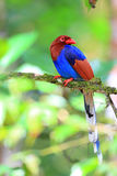 Sri Lanka or Ceylon Blue Magpie Stock Photography