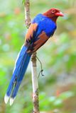 Sri Lanka or Ceylon Blue Magpie Royalty Free Stock Photo