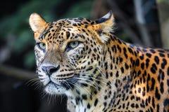 Free Sri Lanka Ceylon Leopard, Panthera Pardus Kotiya Stock Photos - 160284743