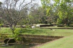 Sri Lanka, Ceylon, Sigiriya ruins with grazed cows Stock Photo