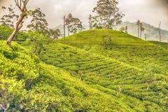 Sri Lanka : champs des montagnes de thé de la Ceylan en Ella Image libre de droits