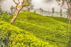 Sri Lanka : champs des montagnes de thé de la Ceylan en Ella Photos libres de droits