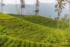 Sri Lanka : champs des montagnes de thé de la Ceylan en Ella Photographie stock libre de droits