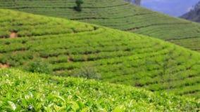 Sri Lanka-de bergen van de theetuin in nuwaraeliya stock videobeelden