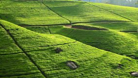 Sri Lanka-de bergen van de theetuin in nuwaraeliya stock footage