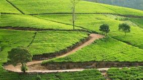 Sri Lanka-de bergen van de theetuin in nuwaraeliya stock video