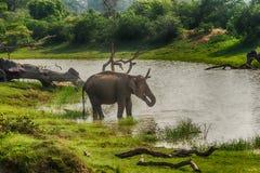 Sri Lanka: elefante salvaje en el lugar de consumición, parque nacional de Yala Fotos de archivo