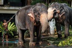 Sri Lanka elefanter arkivbild