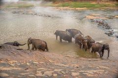 Sri Lanka: elefanter, i att dricka och att bada i Pinnawala Royaltyfri Foto