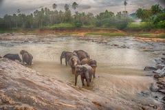 Sri Lanka: elefanter, i att dricka och att bada i Pinnawala Arkivfoton