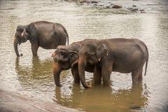Sri Lanka: elefanter, i att dricka och att bada i Pinnawala Royaltyfria Foton