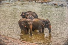 Sri Lanka: elefanter, i att dricka och att bada i Pinnawala Fotografering för Bildbyråer