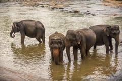Sri Lanka: elefanter, i att dricka och att bada i Pinnawala Royaltyfri Fotografi