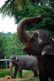 Sri Lanka: Elefantes de Pinnawela Fotos de archivo