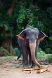 Sri Lanka: Elefantes de Pinnawela Fotografía de archivo libre de regalías