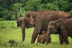 Sri Lanka: Elefantes en Kaudulla Fotografía de archivo