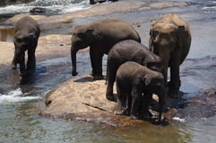 Sri Lanka Elephant Orphanage Stock Photography