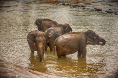 Sri Lanka: elephants in drinking and bathing in Pinnawala Royalty Free Stock Images