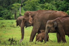 Sri Lanka: Elephants in Kaudulla Stock Photography