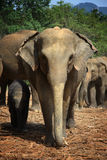 Sri Lanka: Elephants of Pinnawela Stock Photo