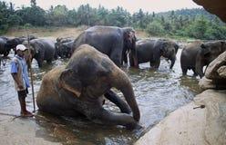 Sri Lanka: Elephants taking a bath in the river near Phinawela Elephant Orphanage royalty free stock images