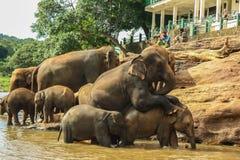 Sri Lanka, em novembro de 2011. Elefante Orphanag de Pinnawala. Fotografia de Stock