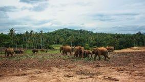 Sri Lanka, em novembro de 2011. Elefante Orphanag de Pinnawala. Imagem de Stock