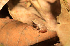 Sri Lanka Endemic frog. (Pseudophilautus schneideri) in Kitulgala forest, Sri Lanka stock image