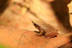 Sri Lanka Endemic frog. (Pseudophilautus schneideri) in Kitulgala forest, Sri Lanka royalty free stock photo