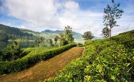 Sri Lanka et x27 ; domaines de thé de s photos libres de droits