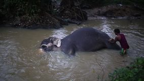 Sri Lanka - February 1, 2015: Trained elephants is. Looked after by the locals are trained, clean, bathe stock video