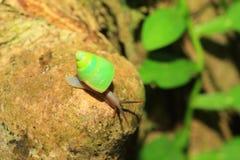 Sri lanka Green snail Royalty Free Stock Photography