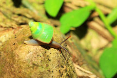 Sri lanka Green snail Stock Photos