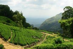 Sri Lanka green tea landscape Royalty Free Stock Image