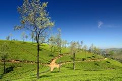 Sri Lanka, green Tea plantation Stock Images