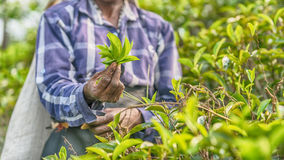 Sri Lanka: hands of tea collector holding tealeaves in plantation. Sri Lanka: hands of tea collector holding tea leaves in tea plantation Stock Photos
