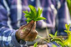 Sri Lanka: hands of tea collector holding tealeaves in plantation. Sri Lanka: hands of tea collector holding tea leaves in tea plantation Royalty Free Stock Photos