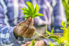 Sri Lanka: hands of tea collector holding tealeaves in plantation. Sri Lanka: hands of tea collector holding tea leaves in tea plantation Royalty Free Stock Images