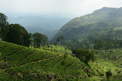 Sri Lanka, Herbaciana plantacja Obrazy Royalty Free