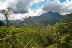 Sri Lanka herbaciana roślina 5 Obraz Royalty Free