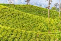 Sri Lanka: höglands- Ceylon tefält i Ella Royaltyfri Fotografi