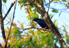 Sri Lanka Hill Myna Stock Image